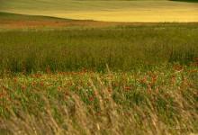"""Blütenwellen im Getreidemeer"" – (Bild 0023)"