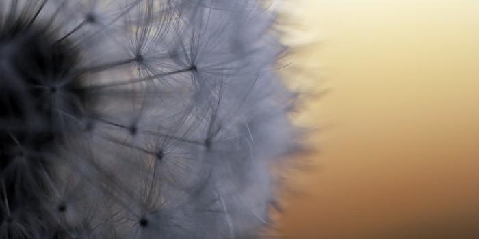 """""""Flugsamen in Bereitschaft – eingebettet im warmen Licht des Sonnenuntergangs"""" – (Bild 0032)"""