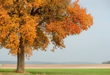 """""""Wilder Birnbaum in Herbstfarben"""" – (Bild 0160)"""